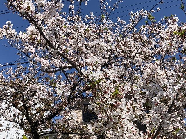 玉串川桜2020
